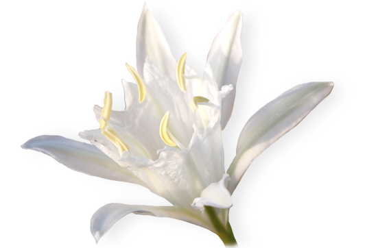 France Sand Lily