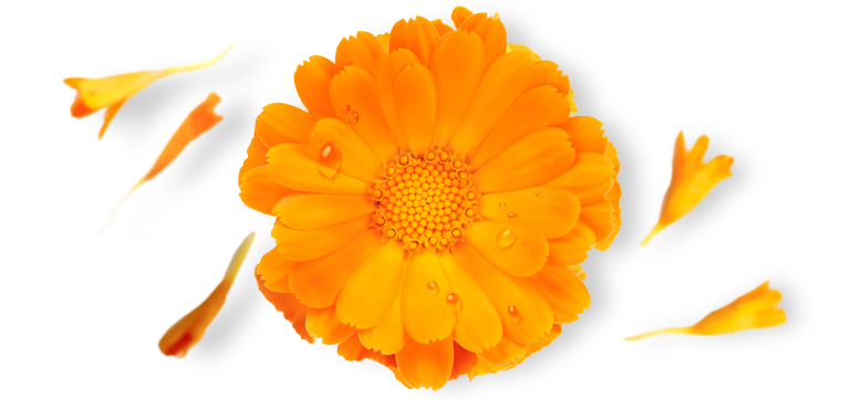 Provence Calendula
