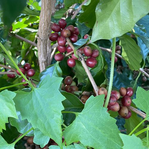 咖啡有超過100品種,普遍高度約2米