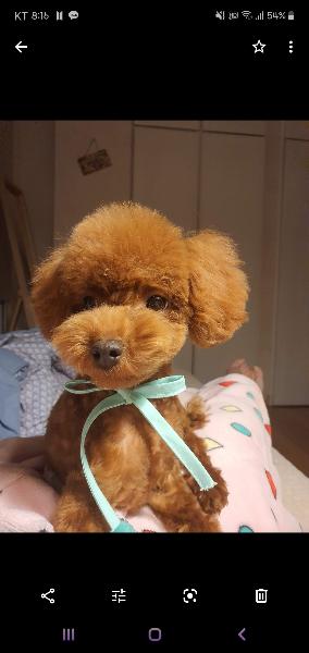 토이푸들 삐삐를 소개합니다아!!