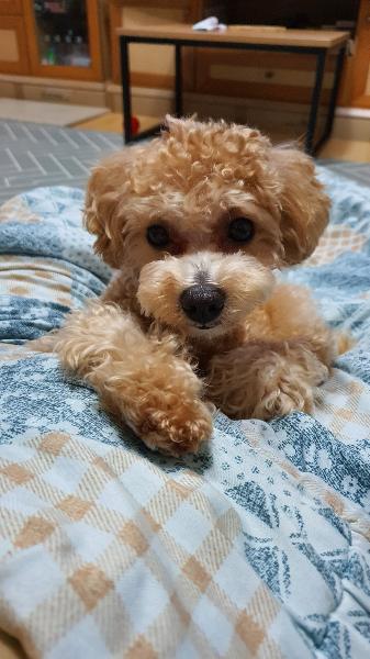 1살 토이푸들 백화