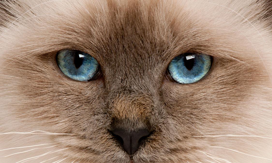 고양이 청각장애