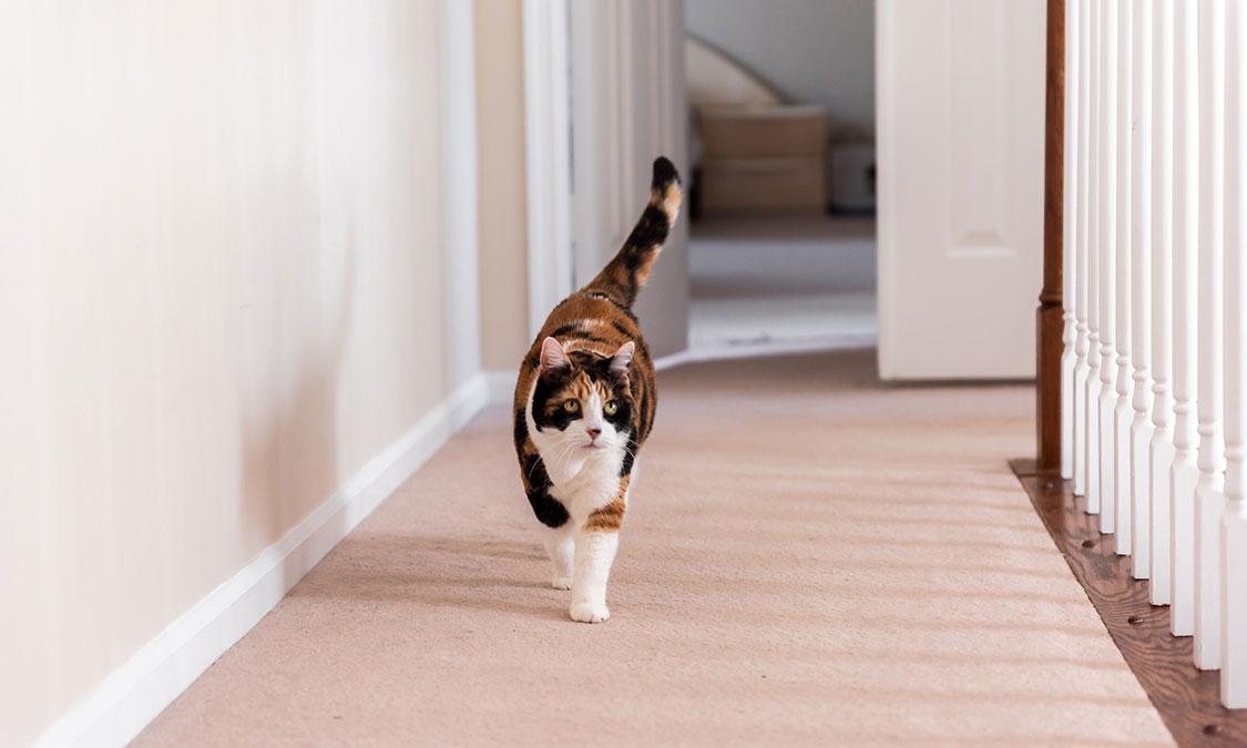 고양이도 슬개골 탈구에 걸리나요?