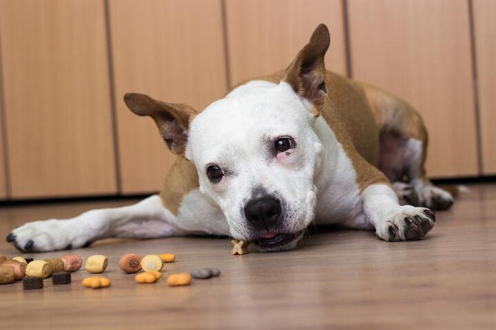 강아지가 사료를 안먹는다구요? 강아지가 밥을 안먹는 이유!