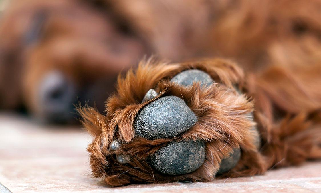 강아지가 발을 핥아요! 강아지 발사탕 들어보셨나요?