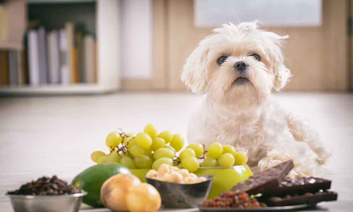강아지가 먹으면 안되는 음식을 먹었을 때, 응급 처치 방법!