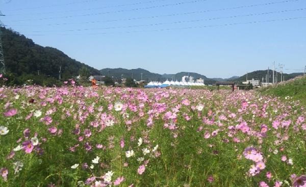 제13회 구미시 장천코스모스축제 개최 한천변 일원