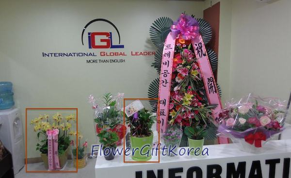 Flower Gift Korea Potted Plants