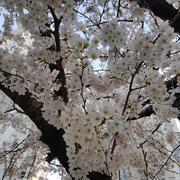 벚꽃이 활짝 피었습니다