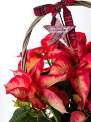 포인세티아 : 축복의 꽃